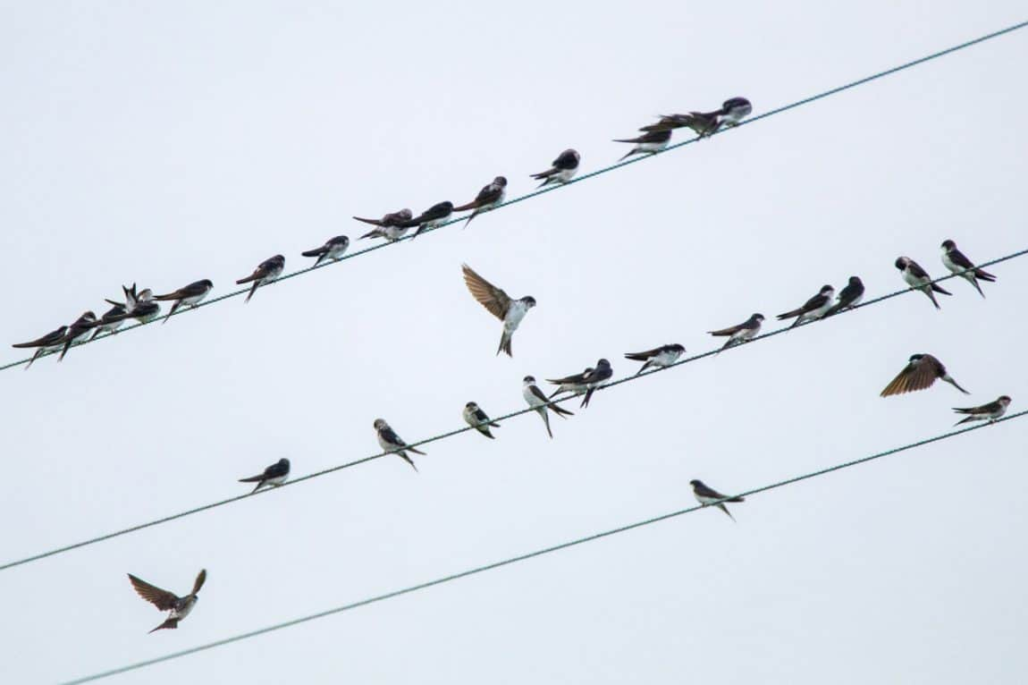 House Martins 2