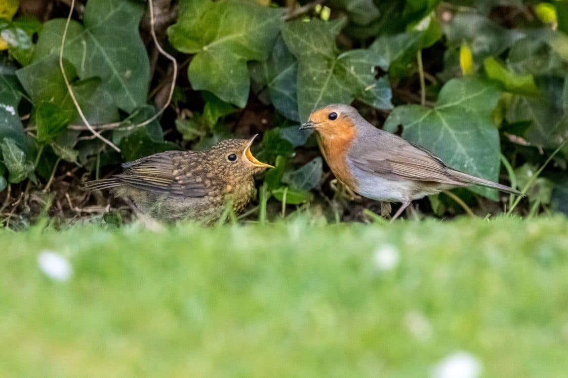 Robin and Juvenile
