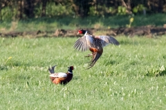 Pheasants (Cock)