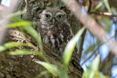 Little Owl Juvenile 2