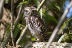 Little Owl Juvenile