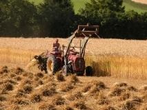 Threshing corn