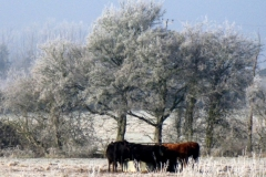 Cattle in the frost
