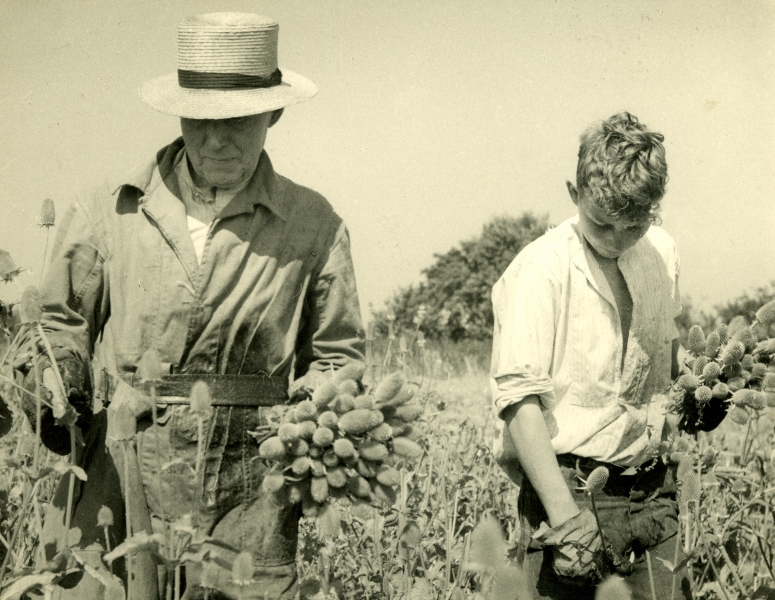 Millers teasel cutting