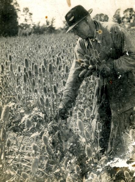 Teasel harvesting